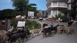 A herd of goats passes through a road in McLeod Ganj. April 21, 2020. Phayul photo-Tenzin Leckphel.